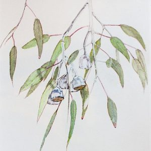 Dressed for Summer Eucalyptuss caesia I Water soluble pen on Paper ©Nada Murphy