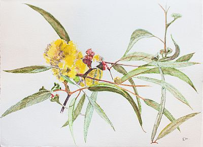 Dressed for Summer Eucalyptus Erythrocorys I Water soluble pen on Paper ©Nada Murphy
